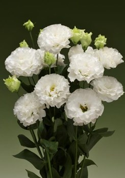 Corelli 2 White Imp