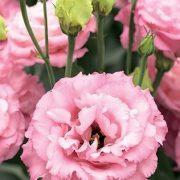 Corelli 3 Rose 2