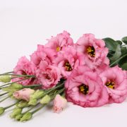 Corelli 3 Rose 4