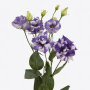 Corelli Delft Blue
