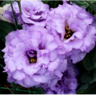 Corelli Lavender