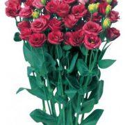 Doublini Rose 2