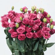 Doublini Rose 3