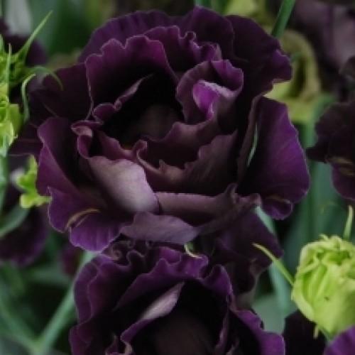 Echo Purple. 2jpg