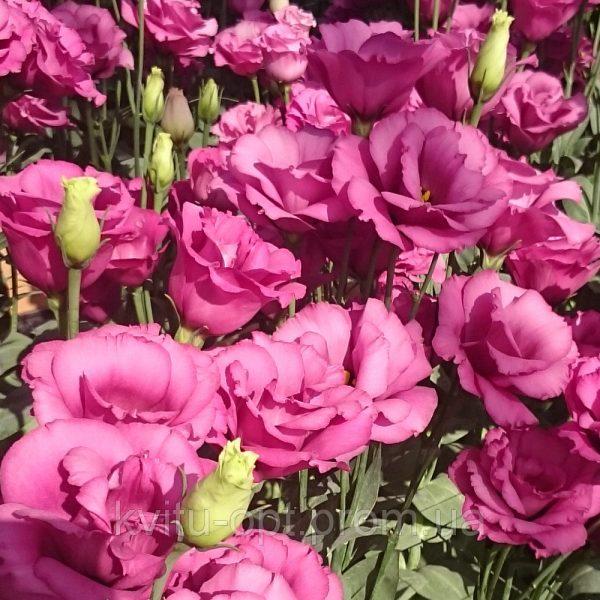 Papillon Rose Pink