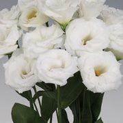 Robella Pure White