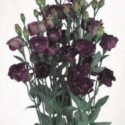 Rosanne 1 Black Pearl 2