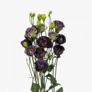 Rosanne 1 Black Pearl 3