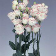 Rosita 1 Pink Picotee