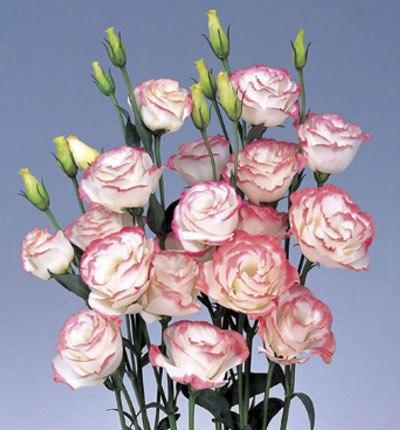 Rosita 1 Pink Picotee 2