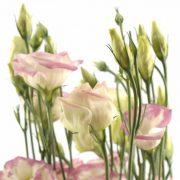Rosita 1 Pink Picotee 3