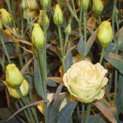 Rosita 2 Jade