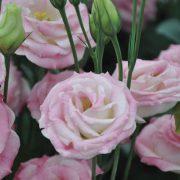 Rosita 3 Pink Flash 2
