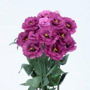 Rosita 3 Purple Rose