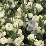 Rosita Pure White