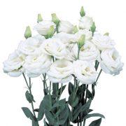 Rosita Pure White 2