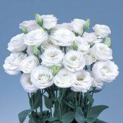 Rosita Pure White 3