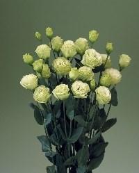 croma green