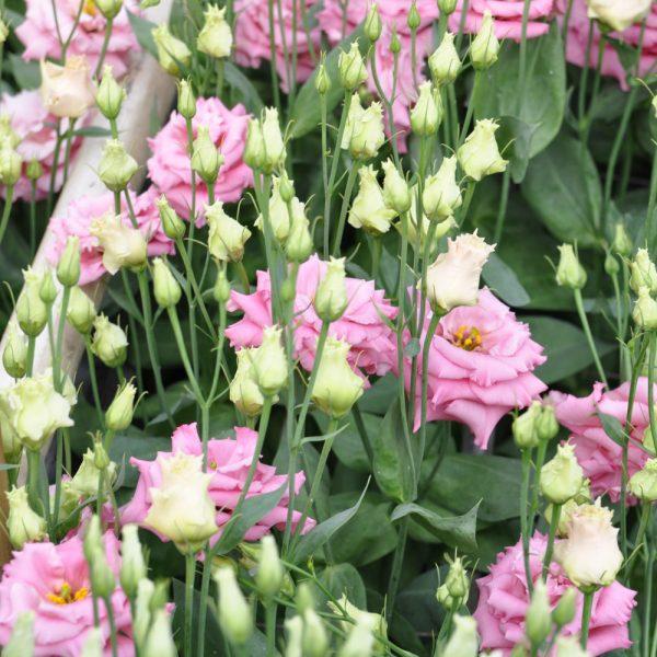 lisianthus-alissa-1-rose-square
