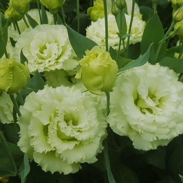 lisianthus-alissa-2-green-square-002