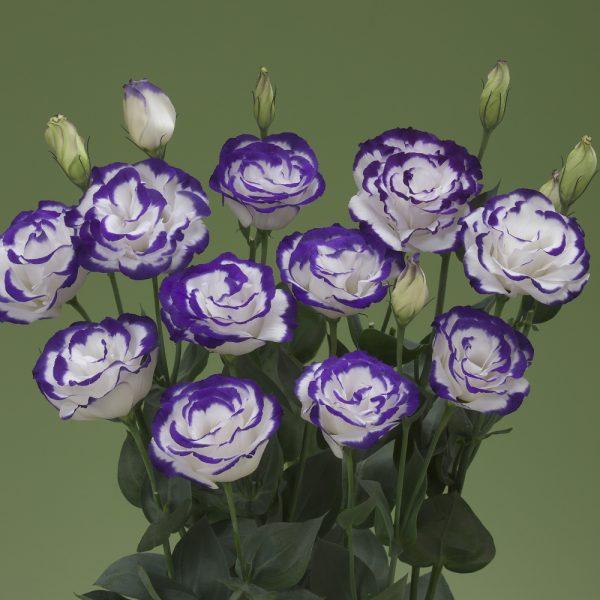 lisianthus-arena2-purplepicotee