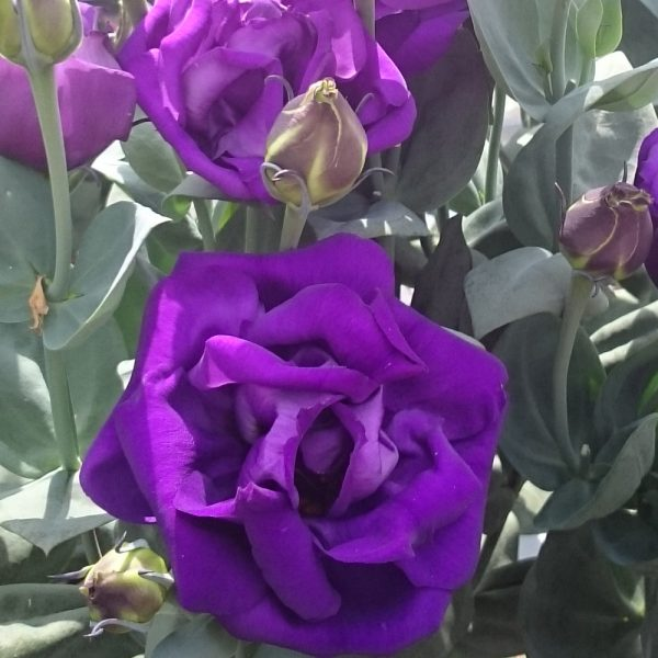 lisianthus-arena3-purple