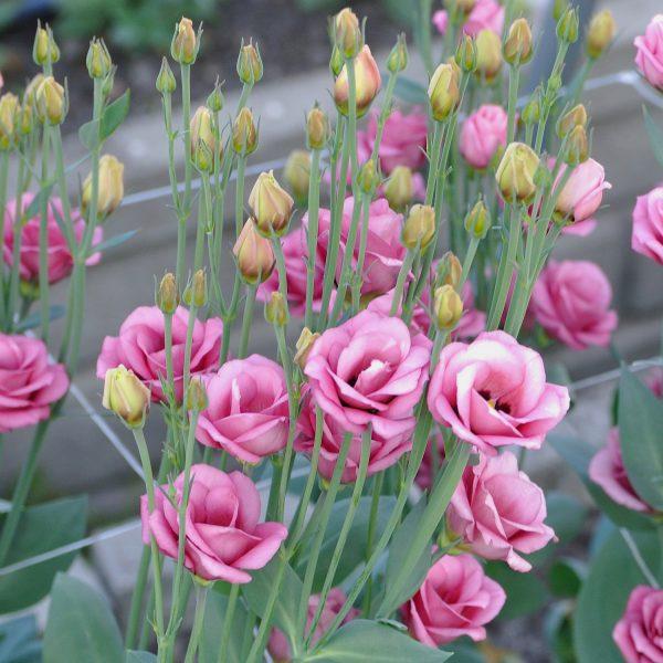 lisianthus-doublini-rose-square-2
