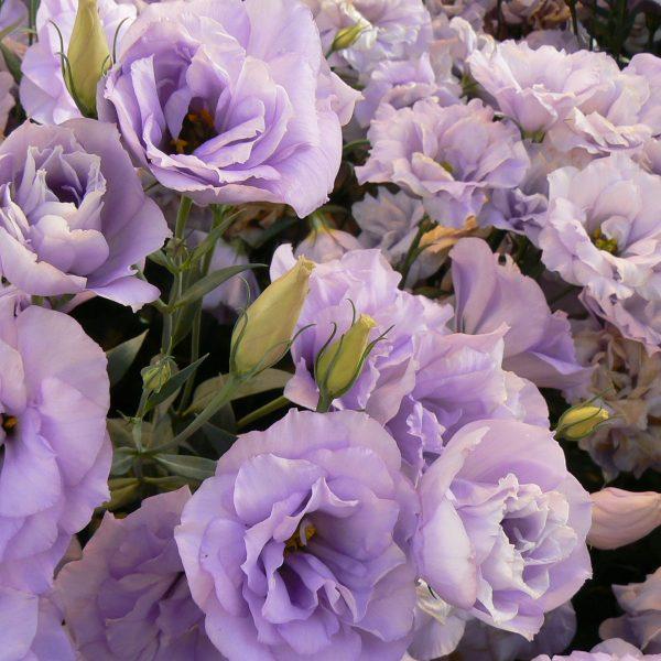 lisianthus-echo-lavender-square