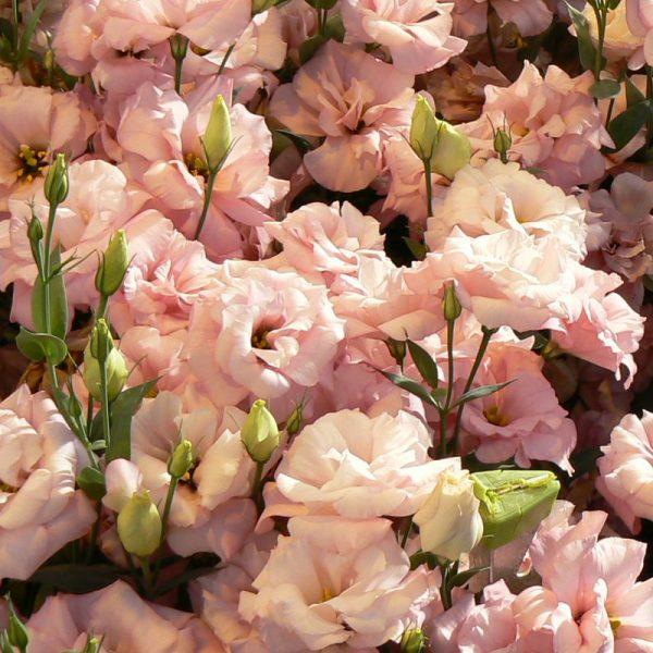 lisianthus-echo-pink-square