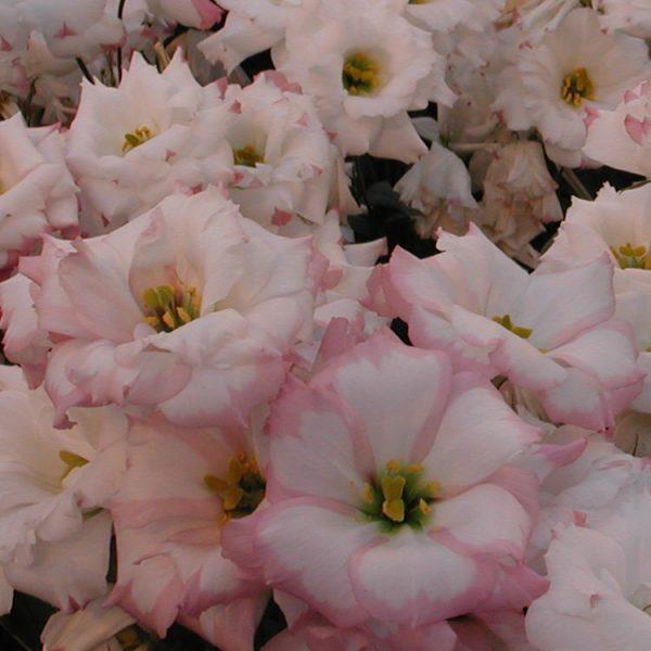 lisianthus-echo-pinkpicotee-square