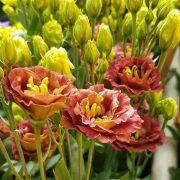 lisianthus-rosanne-3-brown-2