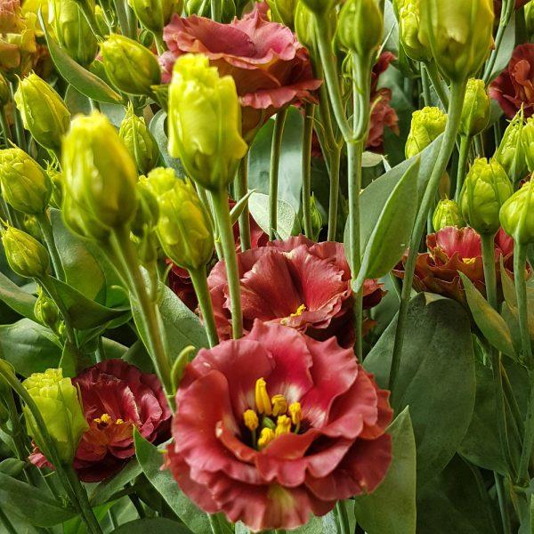 lisianthus-rosanne-3-brown