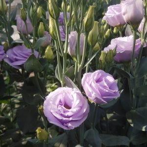 lisianthus-rosita3-lavender-2