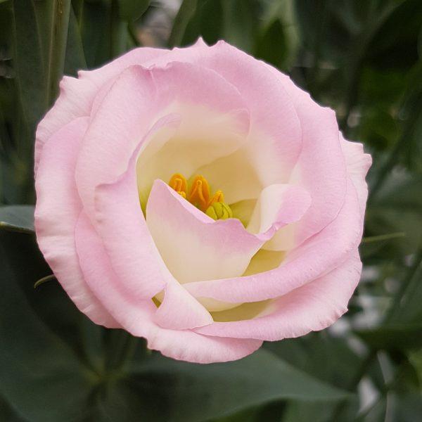 lisianthus-rosita3-pinkflash-square-2