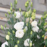 lisianthus-rosita3-purewhite-square-2