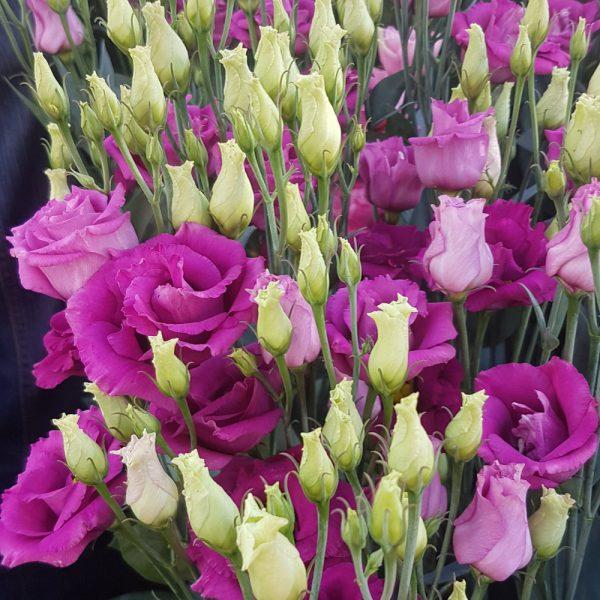 lisianthus-rosita3-purplerose-square