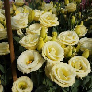 lisianthus-rosita4-yellow-square