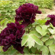 paeonia_black_beauty-2