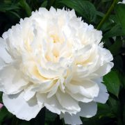 paeonia_bowl_of_cream_3