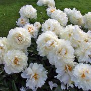 paeonia_bowl_of_cream_4