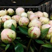 paeonia_mother_choice_2