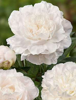 paeonia_mothers_choice_1