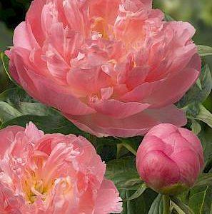 paeonia_pink_hawaiian_coral_1
