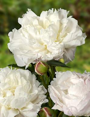 paeonia_shirley_temple_1