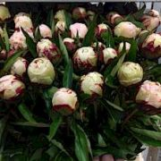paeonia_shirley_temple_2