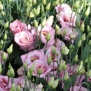 lisianthus-aube-pink