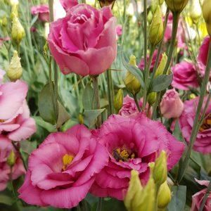 lisianthus-aube-rosepink