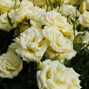 lisianthus-aube-yellow
