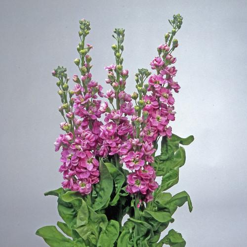 Matthiola Centum Lavender 1