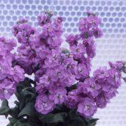Matthiola Centum Lavender 2